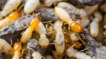 Termite Control in Muswellbrook